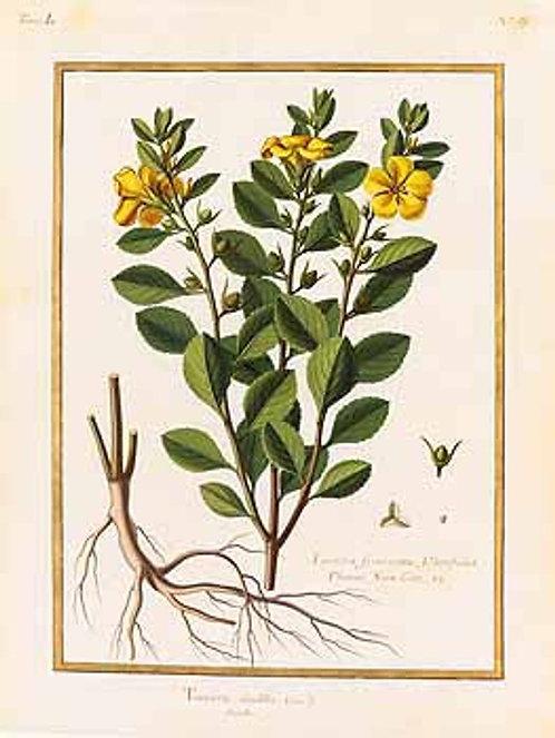 Damiana foglie (Turnera diffusa Willd.)