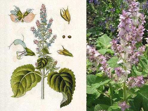 Salvia sclarea (Salvia sclarea L.)