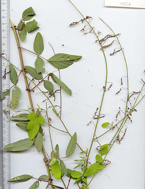 Desmodium foglie (Desmodium adscendens Dc.)