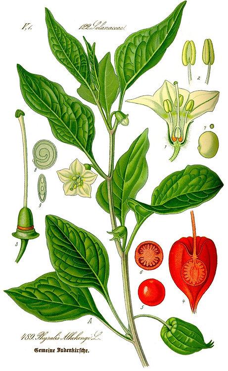 Alkekengi frutti (Physalis peruviana L.)