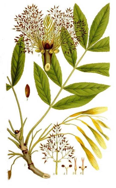 Frassino foglie (Fraxinus excelsior L.)