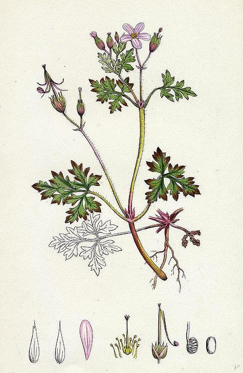 Erba roberta (Geranium robertianum L.)