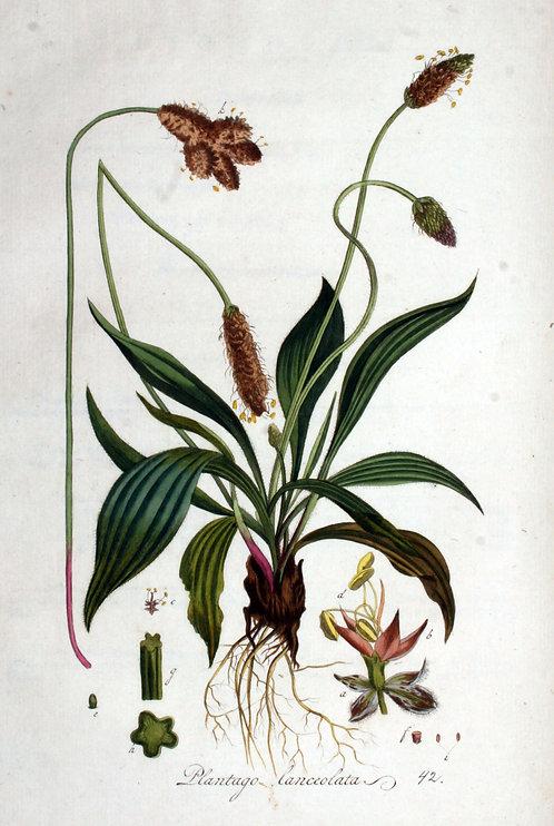 Piantaggine (Plantago lanceolata L.)