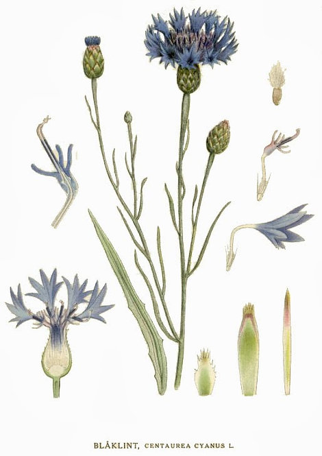 Fiordalisofiori con calice (Centaurea cyanus L.)