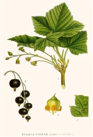Ribes nigrum (Ribes nigrum L.)