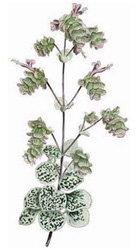 Dittamo (Origanum dictamus L.)