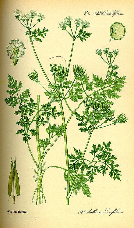 Cerfoglio sommità (Anthriscus cerefolium (L.) Hoffm.)