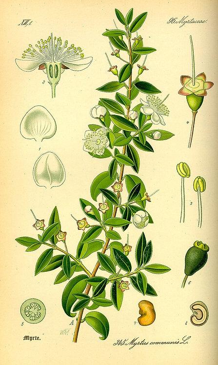 Mirto foglie (Myrtus communis L.)