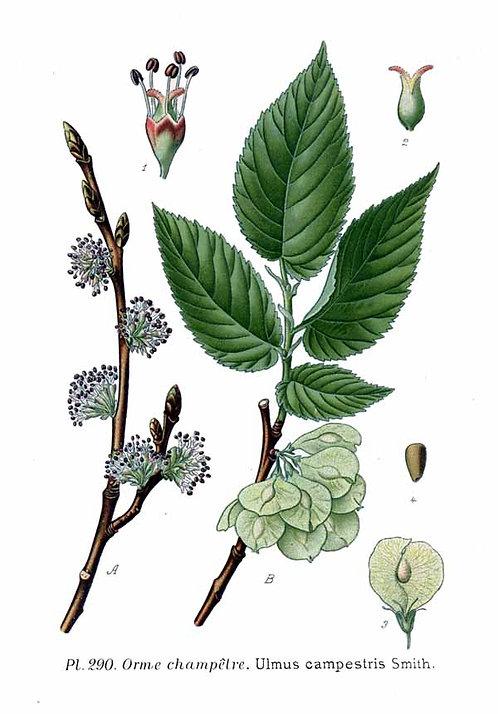 Olmo corteccia (Ulmus campestris L.)