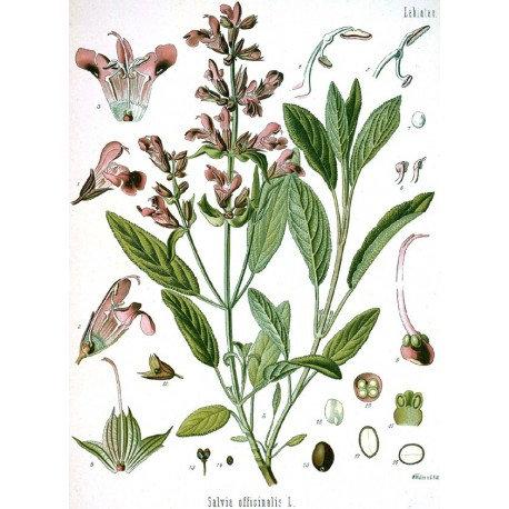 Salvia officinale (Salvia officinalis L.)