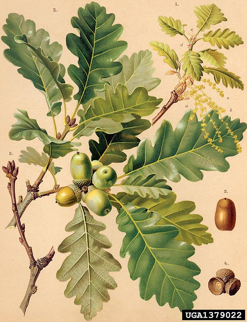 Quercia corteccia o Rovere (Quercus petraea (Matt.)Liebl.