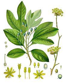 Sassofrasso (Sassafras albidum)
