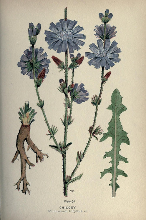 Cicoria radice (Cichorium intybus L.)