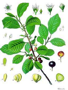Fallax corteccia t.t. (Rhamnus alpinus L.ssp Fallax)
