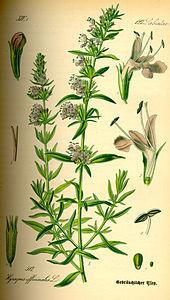 Issopo (Hyssopus officinalis L.)