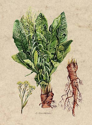 Rafano Cren-Barbaforte (Armoracia rusticana Gaertn)