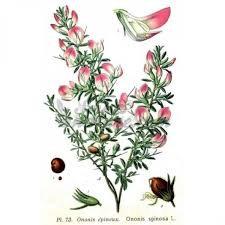 Ononide spinosa (Ononis spinosa L.)