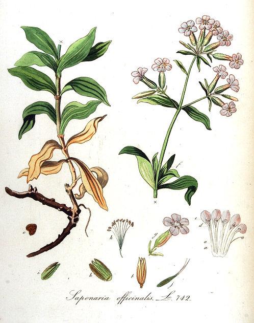 Saponaria officinalis foglie
