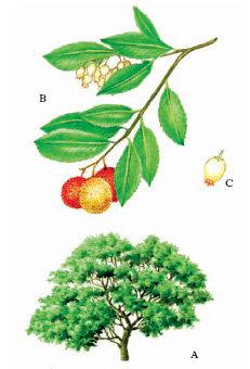 Corbezzolo foglie (Arbutus unedo L.)