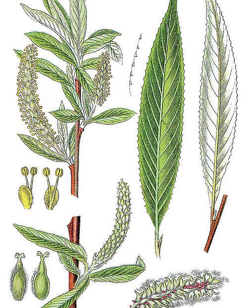 Salice bianco (Salix alba L.)