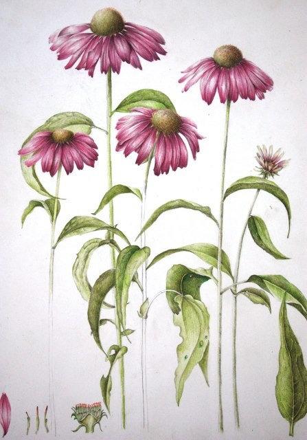 Echinacea radice (Echinacea angustifolia D.C.)