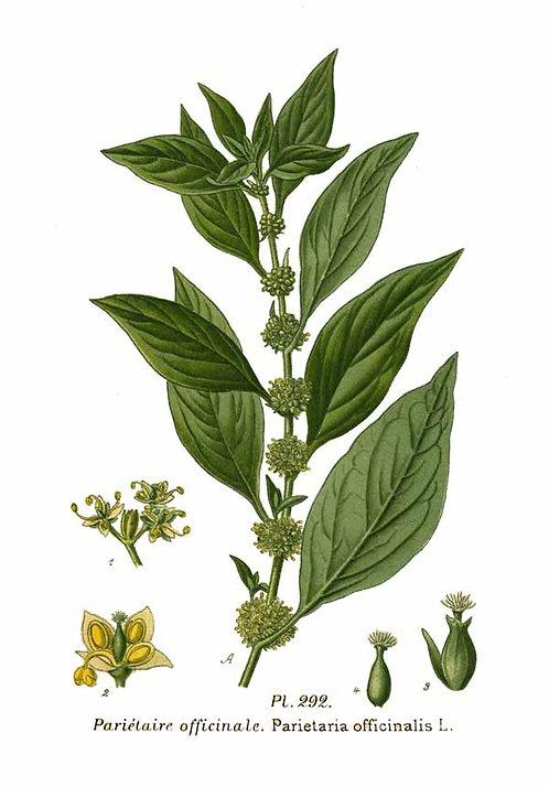 Parietaria (Parietaria officinalis L.)