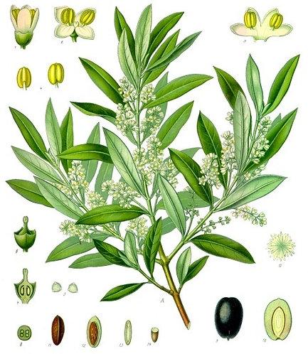 Olivo (Olea europea L.)