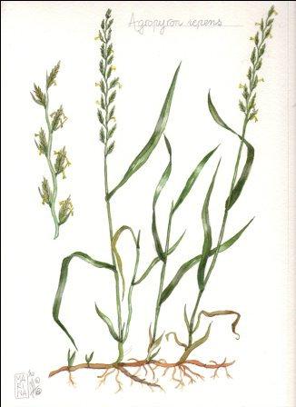 Gramigna rizoma t.t. (Agropyron repens (L.) Beauv.)