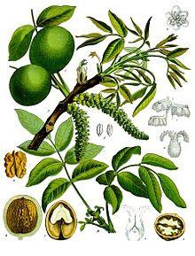 Noce foglie taglio tisana (Juglans regia L.)