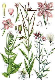 Epilobio (Epilobio parviflorum L.)