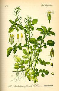 Nasturzio ( Nasturtium officinale R.Brown )