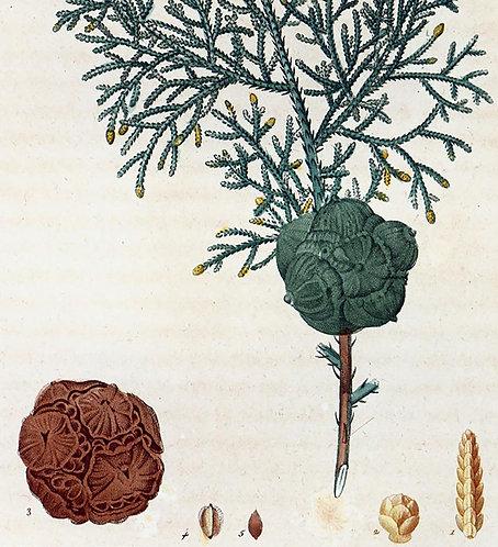 Cipresso bacche (galbuli) Cupressus sempervirens L.