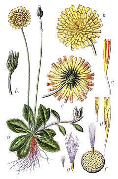 Pilosella ( Hieracium pilosella L.)