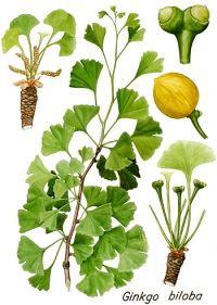 Ginkgo biloba foglie t.t. (Ginkgo biloba L.)