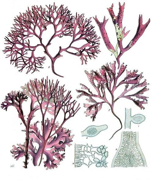 Lichene islandico (Cetraria islandica (L.) Ach.