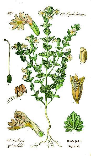 Eufrasia (Euphrasia officinalis L.)