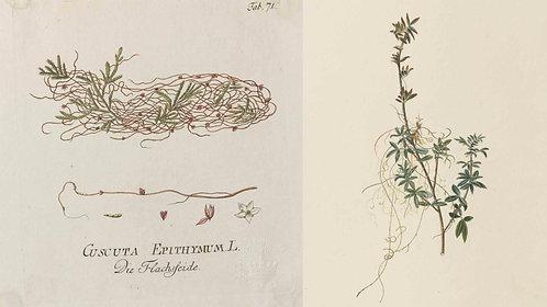 Cuscuta (Cuscuta epithymum L.)