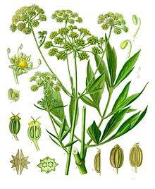 Coriandolo frutti interi (Coriandrum sativum L.)