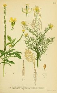 Erisimo o erba dei cantanti (Sisymbrium officinale(L.) Scop.)