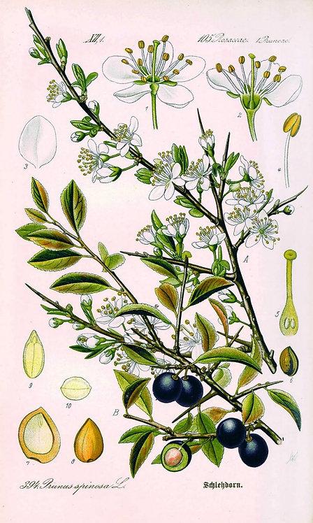 Prugnolo fiori (Prunus spinosa L.)