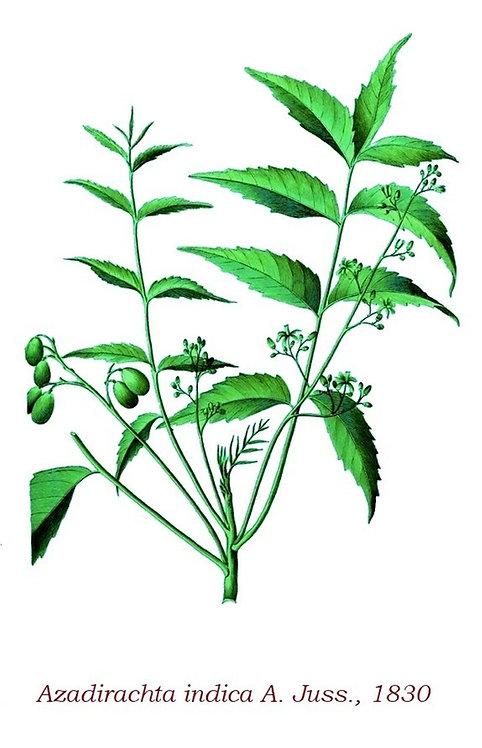 Neem foglie (Azadirachta indica L.)