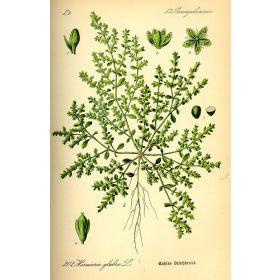 Erniaria(Herniaria glabra L.)