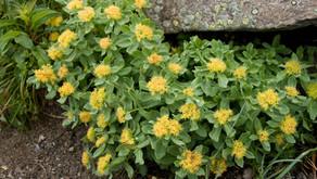 La rhodiole, plante anti-stress par excellence