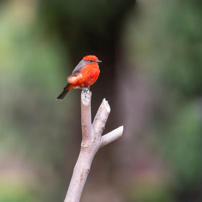 Mosquetero cardenalito