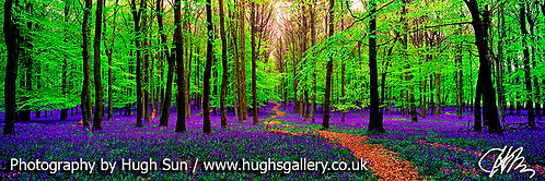 BL1-Bluebells (Panoramic)
