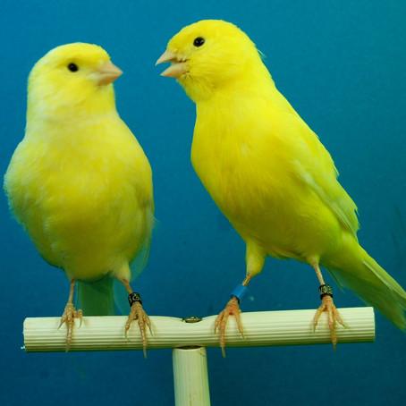 Gibt es Kanarienvögel in Ihrem Unternehmen?