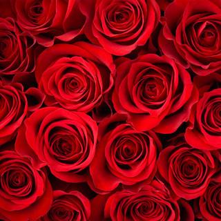 fragrance-red-roses-NRRO.jpg