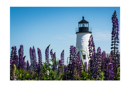 Lupins and Lighthouse