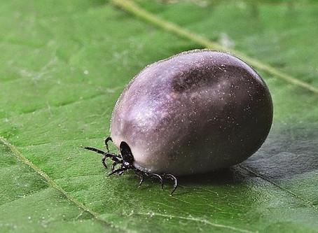 La transmission de la maladie de Lyme