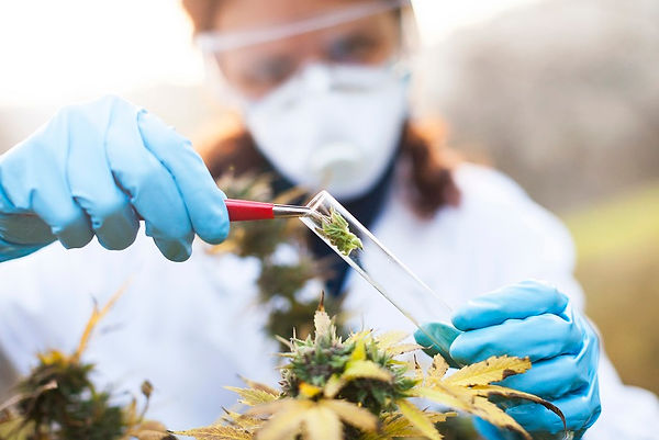 Preparing-medicine-from-Marijuana.jpg
